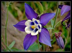 Akelei (karin_b1966) Tags: plant flower nature garden blossom natur pflanze aquilegia blume blte garten 2016 akelei
