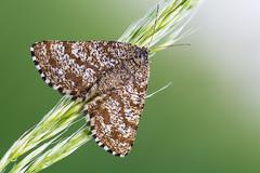 Ematurga atomaria (Prajzner) Tags: morning macro nature moth sigma naturallight lepidoptera manfrotto sigma105mmmacro commonheath ematurgaatomaria subcarpathia nikond7100 prajzner manfrottomt190xpro3