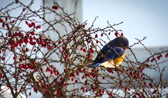 Bluebird (Andrew Lincoln Photos) Tags: bird nature bluebird andrewlincolnphotographer