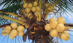 COCONUT TREE BINTAN ISLANDS RIAU ARCHIPELAGO (patrick555666751) Tags: tree indonesia de islands asia coconut south du east coco asie indonesie archipelago sud bintan est cocotier noix iles riau archipel