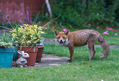Low budget remake of famous scene in Jurassic Park? (paulinuk99999 - just no time :() Tags: urban food bunny london stone garden wildlife young mother surrey ornament fox vixen searching sal135f18z paulinuk99999