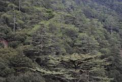 Cedars of Cyprus (orientalizing) Tags: landscape cyprus cedars cypriot troodosmountains cedrusbrevifolia endemictrees cypriotcedars koiladatonkedron tripylosregion troodos  valleyofthecedars