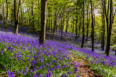 Fields of blue (leigh_rees) Tags: flowers trees mountain flower nature sunshine bluebells southwales wales forest woodland outdoors countryside woods nikon forestry cymru cardiff sigma fields wildflowers bluebell tranquil valleys caerphilly wenallt sigma1020mm hyacinthoides hyacinthoidesnonscripta nikond3300 d3300 wenalltwoods