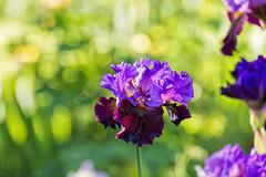 Felt in Silence (Synapped) Tags: iris orange oregon garden purple peach lavender salem schreiners