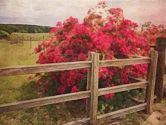 Red Roses on the Fence. #brushstroke and #Stackables (peppermcc) Tags: