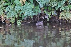 European otter (Lutra lutra) (Geckoo76) Tags: river otter lamprey europeanotter