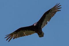Vulture Patrol (Jay:Dee) Tags: ontario bird burlington turkey flying nemo flight conservation mount area vulture aura avian cathartes halton