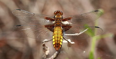 Female Broad bodied chaser (Scorpion 9) Tags: female broad chaser bodied