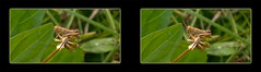 Tiny Grasshopper 2 - Crosseye 3D (DarkOnus) Tags: macro closeup stereogram 3d crosseye phone pennsylvania cell stereo tiny grasshopper stereography buckscounty huawei crossview mate8 darkonus