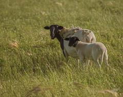 Grazing Ewe and Lamb (LouisRuthPhotography2016) Tags: lambsheepwoolewepetsbarnyardanimals animal outdoor masterpiece naturescall