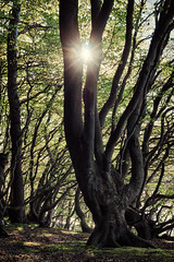 Sunny Beech (Ralph Graef) Tags: sunset sun tree nature forest grove rgen beech mecklenburg beeches