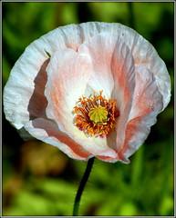 Pale poppy (* RICHARD M) Tags: flowers plants nature beauty petals flora bokeh stamens poppy botany mothernature papaveraceae papaveroideae