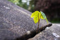 Precarious (Iain Husbands) Tags: scotland university glasgow crack growth seedling struggle omd adversity 2016 em5