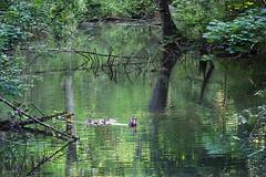 Moorland - (rotraud_71) Tags: badreichenhall pidingerau water ducks reflections trees moorland berchtesgadenerland