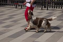 Arlo dancing to My music (Yvonne L Sweden) Tags: summer dog dogs sweden hund springerspaniel arlo eskilstuna hundar 160622 fristadstorget hundshow sommartorget
