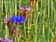 Cornflowers (GerWi) Tags: plants nature outdoor natur pflanze pflanzen gras cornflowers kornblumen