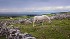 Grazing in the Burren (Michael Foley Photography) Tags: ireland horse burren grazing coclare galwaybay