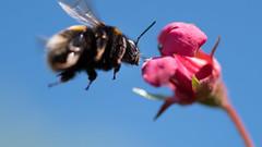 I don't know how I'm doing this, but I'm flying! (roseysnapper) Tags: nikkor105mmmicrof28 nikond810 bluesky bumblebee macro bee flower flying hovering nature plant pollen