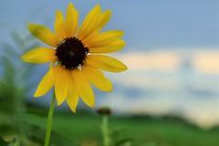 Summertime Sunflower (slammerking) Tags: summer green yellow dof bluesky sunflower kansas
