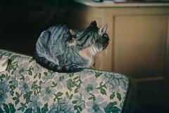 (joelbrendenphotography) Tags: cats floral cat 50mm kodak rangefinder sofa portra xenon schneider retina 160 f20 portra160 iiic