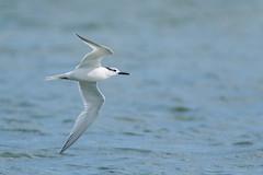 Grote stern / Sandwich tern / Thalasseus sandvicensis (xarneymx) Tags: flight stern tern texel sandwichtern