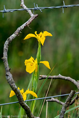 bouquet and barbed wire (RCB4J) Tags: iris art nature photography scotland flora barbedwire wildflower ayrshire yellowiris sigma150500mmf563dgoshsm ronniebarron rcb4j