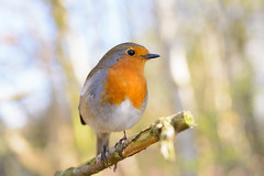 Sunrise Robin (medowduk) Tags: robin sunrise