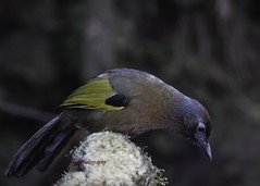 Chestnut Crowned Laughing Thrush, now known as the Malayan Laughing Thrush was common. Kekicau-Riang Ubun Merah (on EXPLORE) (Tok Ki, an idiot with cameras. (1.5 mil viewers)) Tags: wild bird nature birds wildlife birding tokki pungut