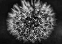 droplets on a wish (seventyone photographers) Tags: flowers blackandwhite bw blackwhite wish wildflower waterdroplets