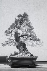 DSC_3908s (An Xiao) Tags: arboretum bonsai penjing