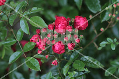Simple Roses (Point .RAR) Tags: red roses flower color art nature photography photo captured redflower rar redroses photooftheday rarstudio bunchroses