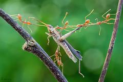 Team work (melnikor) Tags: macro grass work team ant malaysia grasshopper hunter prey weaver predator hopper kota kelantan hunted bharu leehuaming