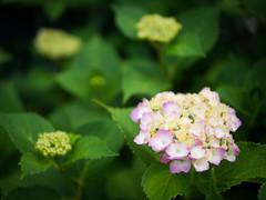 June Awake (H.H. Mahal Alysheba) Tags: pink flower japan lumix dof bokeh hydrangea summilux 25mmf14 gx7 leicadg