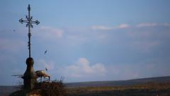Cambrera (lluiscn) Tags: sky bird animal animals clouds nest au comida cel creu nido niu cigea comiendo nvols esglsia menjant cigonya vila
