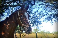 El multicampen (Eduardo Amorim) Tags: horses horse southamerica argentina caballo cheval caballos cavalos corrientes pferde cavalli cavallo cavalo pferd chevaux cavall amricadosul amriquedusud   sudamrica suramrica amricadelsur sdamerika jineteada  americadelsud gineteada americameridionale eduardoamorim curuzcuati provinciadecorrientes corrientesprovince cavall