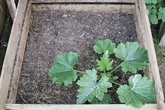 Zucchini im Kompost (blumenbiene) Tags: plant garden pflanze zucchini compost garten composter kompost komposter