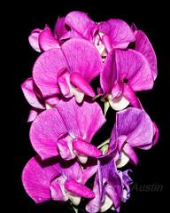 Sweet Pea (ausmc_1) Tags: canada flower home yard britishcolumbia vancouverisland stillife portalberni d800 sweetpeas 2016 sb900 tamron90mmmacro11spdiusdvc