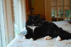 Batman on the sofa box, looking smug (rootcrop54) Tags: white black male window cat furry chat box longhair couch sofa tuxedo kitteh batman perch  macska gatto katzen kot koka kedi polydactyl katt kissa kttur maka kucing    extratoes kat  maek kais pisic gorbe