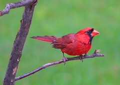 Cardinal2 (holleyc) Tags: birds outdoors cardinal cannon