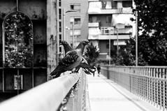 Guardia spalle (iSergioP) Tags: parcodora colombi torino biancoenero bn street streetphotography turin