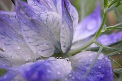 Droplets & petals (fxdx) Tags: droplets macro close flower petals