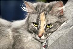Sweetness (Simply Viola) Tags: pet cat feline felino catshow mostrafelina sfilatadeigatti