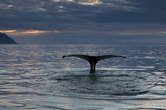 Midnight Sun Swim (Frijfur M.) Tags: canon5dmarkii canonef70200 whale humpbackwhale iceland sland hnfubakur eyjafjrur frijfurm midnightsun sunset