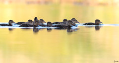 Brotherhood (hooligung) Tags: mallard flock navigate duck fledling little brother