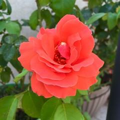 Las Vegas Orange Rose (Assaf Shtilman) Tags: las vegas orange rose