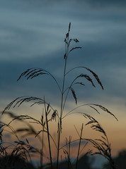 Sunset straw (RuneKC) Tags: sunset macro nature clouds denmark straw deerpark dyrehaven