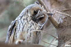 Long-eared owl, Waldohreule, Asio otus @ Israel, 2016 urban nature (Jan Rillich) Tags: park urban sun nature beautiful beauty animal june fauna digital canon photography eos israel photo telaviv spring flora foto fotografie image jan wildlife picture free sunny urbannature owl canon5d guest longearedowl 2016 eule animalphotography strigidae hayarkon asiootus waldohreule nahalhayarkon 5dmarkiii janrillich rillich