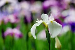 はなしょうぶ (花菖蒲) /Iris ensata (nobuflickr) Tags: iris flower nature japan kyoto 京都 fa 平安神宮 花菖蒲 irisensata heianjingushrine japanesewateriris awesomeblossoms はなしょうぶ 平安神宮神苑 アヤメ科アヤメ属 20160604dsc01566