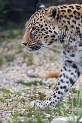 Profile of the male leopard walking (Tambako the Jaguar) Tags: profile portrait face walking action stones vegetation leopard big wild cat persian male zoo dhlhlzli tierpark bern berne switzerland nikon d5