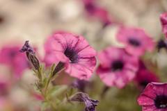 Petunia (Janne Fairy) Tags: pink flower green canon garden violet blumen lila depthoffield petunia grn blume solanaceae petunien canon500d eos500 nightshadefamily nachtschattengewchse eos500d